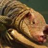 Lizard Pig