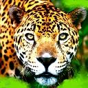 Tiger Looking At You